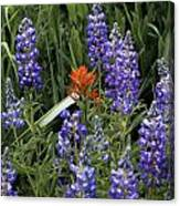 Lupine With Paintbrush Canvas Print