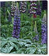 Lupines In The Rain Canvas Print