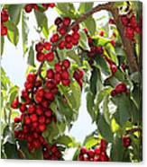 Luscious Cherries Canvas Print