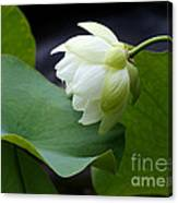 Luscious Lotus Canvas Print