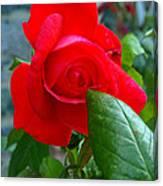 Luss Rose Canvas Print
