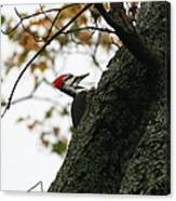 Lyndonville Pileated Woodpecker Canvas Print