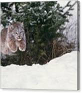 Lynx Leaping Canvas Print