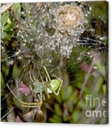 Lynx Spider And Young Canvas Print