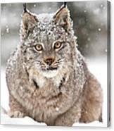 Lynx Stare Canvas Print
