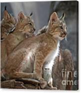 Lynx Trio Canvas Print