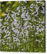 Lyreleaf Sage Wildflowers - Salvia Lyrata Canvas Print