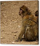 Macaque Monkeys Canvas Print
