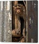 Macaque Peeking Out Canvas Print