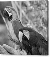 Macaws Of Color B W 14 Canvas Print