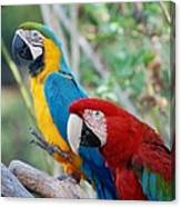 Macaws Of Color23 Canvas Print