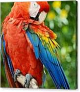 Macaws Of Color31 Canvas Print