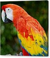 Macaws Of Color33 Canvas Print