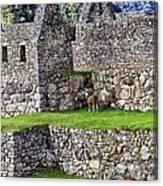 Machu Picchu - Grazing Lamas Canvas Print