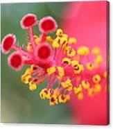 Macro Close Up Of Hibiscus Pollen  Canvas Print