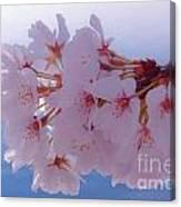 Macro Dc Cherry Blossoms Canvas Print