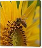 Macro Of Bee On Sunflower...   # Canvas Print
