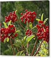 Madrone Berries Canvas Print