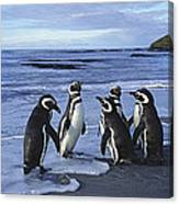 Magellanic Penguin Trio On Beach Canvas Print