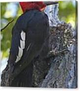 Magellanic Woodpecker Canvas Print