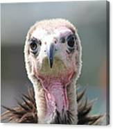 Maggee The Hooded Vulture Canvas Print