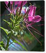 Magical Cleome Canvas Print