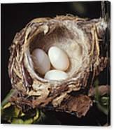 Magnificent Hummingbird Eggs Canvas Print