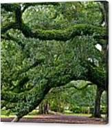 Magnificent Oak Alley Tree Canvas Print