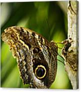 Magnificent Owl Butterfly Canvas Print