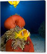 Magnificent Red Anemone With Anemone Fish Canvas Print