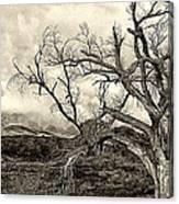 Magnificent Shoe Tree Near San Felipe Road Canvas Print