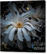 Magnoila Tree Blossum Canvas Print