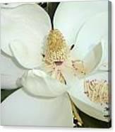 Magnolia Love Canvas Print
