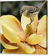 Magnolia And Warbler Photo Canvas Print