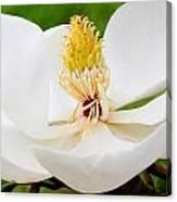 Magnolia Blossom 2 Canvas Print