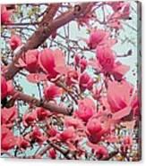 Magnolia Blossoms In Spring Canvas Print