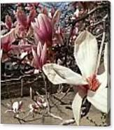 Magnolia Branches Canvas Print