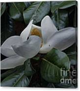 Magnolia In Full Bloom Canvas Print
