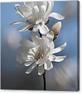 Magnolia Magnificence  3245 Canvas Print