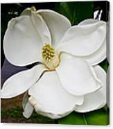 Magnolia One Canvas Print