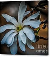 Magnolia Tree Blossum Canvas Print
