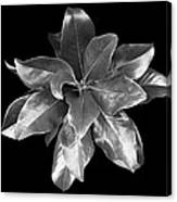 Magnolia Tree Leaves Canvas Print
