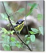 Magnolia Warbler - Bird Canvas Print