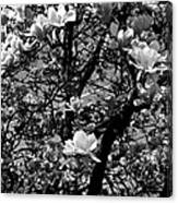 Magnolias In White Canvas Print