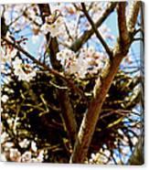 Magpie Nest In Cherry Tree Canvas Print
