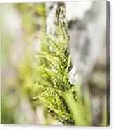 Maiden-hair Spleenwort Canvas Print