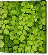 Maidenhair Fern Canvas Print