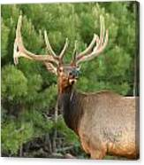 Majestic Elk Canvas Print