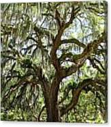 Majestic Oak 3 Canvas Print