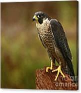 Majestic Peregrine Falcon In The Rain Canvas Print